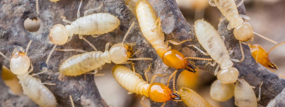 eliminacion-termitas