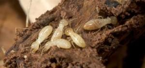 ataque-termitas-retablo