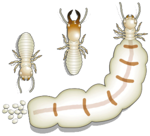 castas termitas