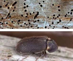 diferencias carcoma termita