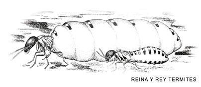 rey y reina termita