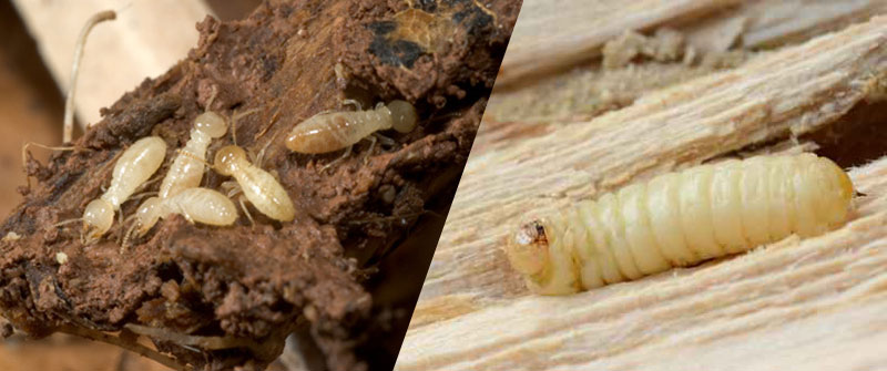 Remedios caseros para eliminar termitas - Eliminar carcoma muebles ...