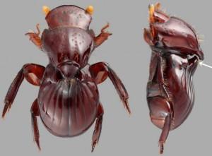 escarabajo termitas