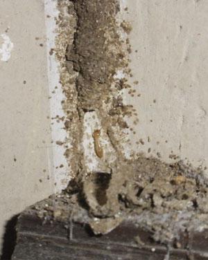 Túnel de barro termita subterránea