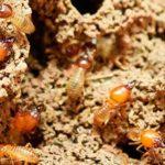 termitas cucarachas