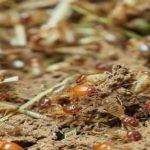Cebos termitas