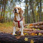 Beagle contra las termitas en Bilbao