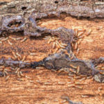 4.000 cebos para atajar la plaga de termitas en Tenerife
